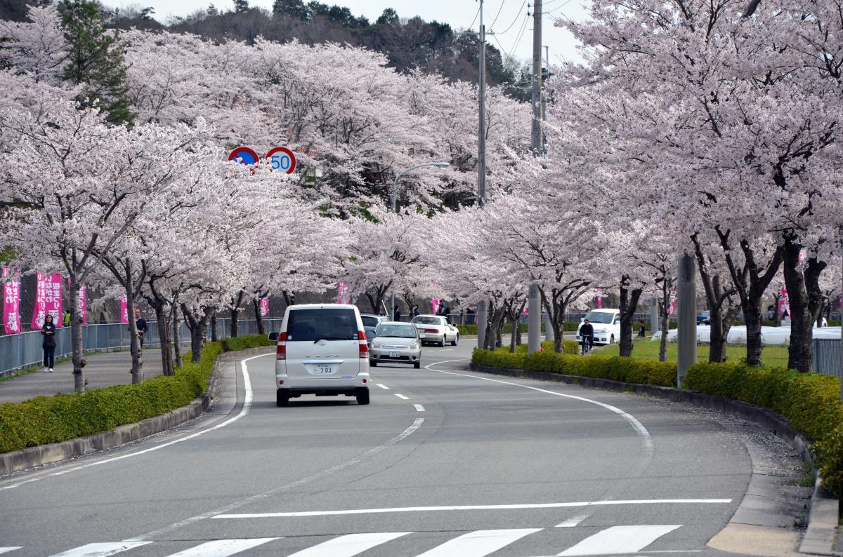 猪名川桜街道満開の頃13