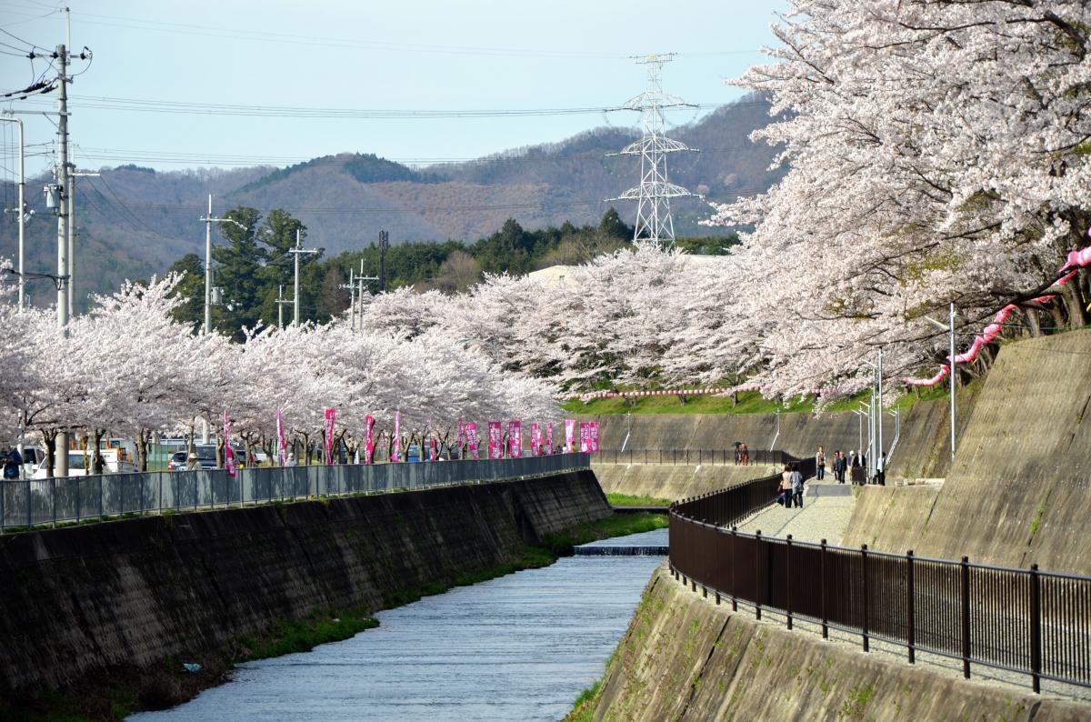 猪名川桜街道満開の頃25