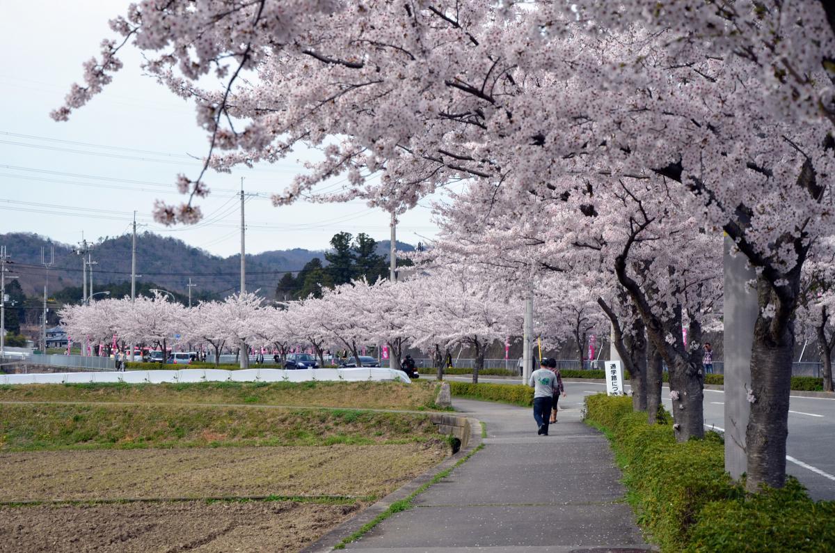 猪名川桜街道満開の頃06