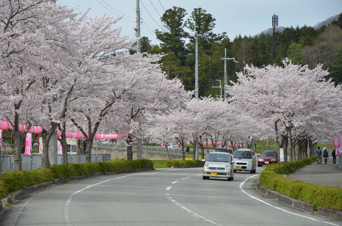 猪名川桜街道満開の頃15