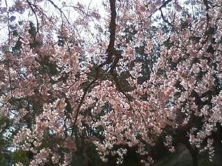猪名川桜08